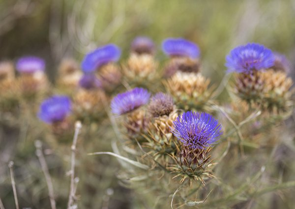 Getting rid of Canadian Thistle