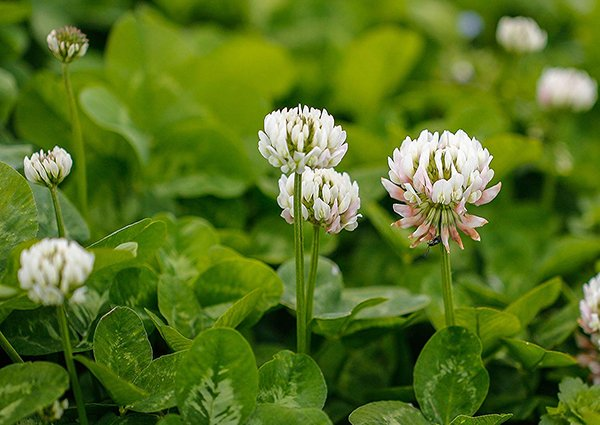 Getting rid of White Clover